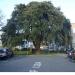 Holm Oak Pollarding in Rayleigh Essex